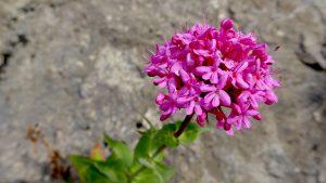 Pinkene Blume