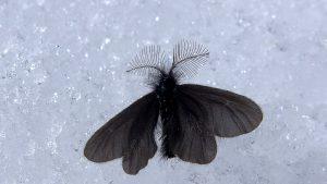Schwarzer Nachtfalter