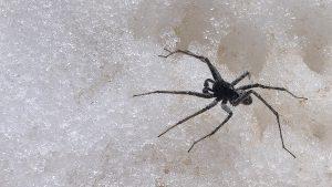 Schwarze Spinne