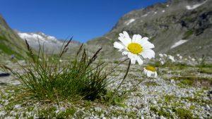 Bächlisboden, Berg-Margerite